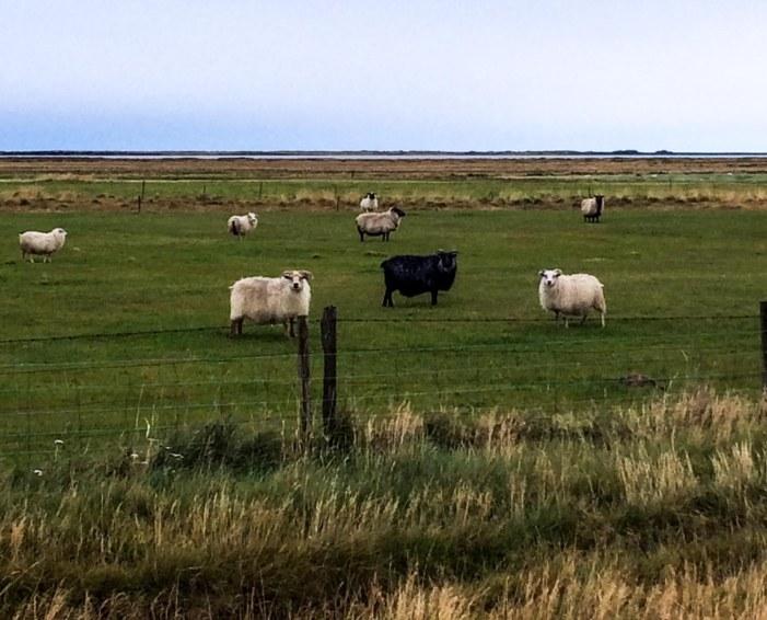 Icelandfarms-13