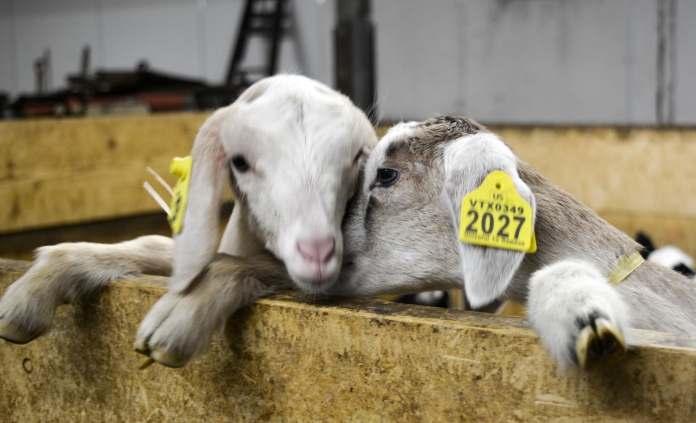 goat_whispers